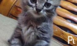 Breed : Long Haired Asian Tabby Kitten (brown) Gender :