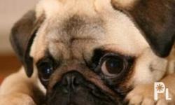 Deskripsiyon I am URGENTLY in need of a pug puppy with