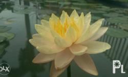 Water lotus and Lilies for sale. Free shipping for