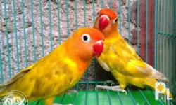 For Sale Young Adult and Proven Breeder Parakeets,