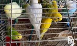 Parakeets/love birds Assorted colors Adult/breeder
