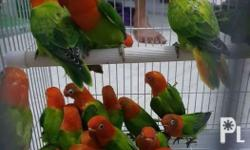 Lovebirds for export. Contact me for more detailed