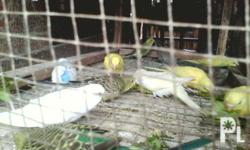 young and matured lovebirds ready for breeding, 280 per