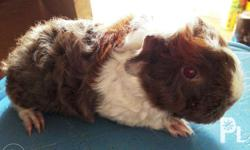 for sale: lunkarya guinea pig (kolot hair) 3pcs all