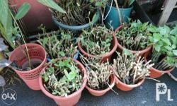 150pcs cuttings ready to plant . rainy season is the