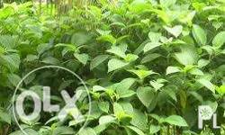 Madre de Agua Php 5 per stem unrooted cuttings Php10