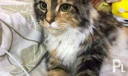 Maine Coon (FEMALE) -import from Turkey -with papers