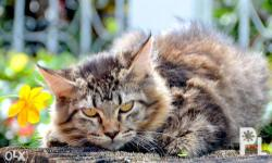 MAINE COON KITTEN (ISLAND BORN) Female Date of Birth:
