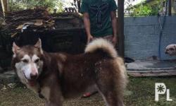For sale male alaskan malamute Complete papers and