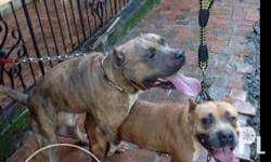 * Both dogs are UKC registered; Male is RKC registered