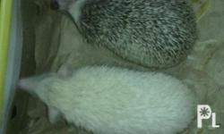 male: albino female: minimal pinto healthy and playful