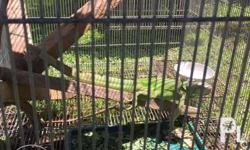 male and female iguana almost 2 y/o for sale for swap