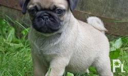 Male and Female Pug Puppies now available ? Davao City