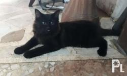 For sale my persian male kitten Male Double coat/thick
