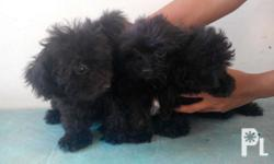 Toy pPhilippineslisted puppies Black color With curly