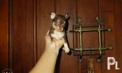 male chihuahua puppy with pcci paper 11 redmarks with
