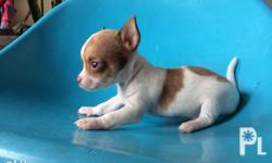 For Sale Chihuahua puppy. Smooth coat and pure breed.