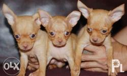 Male Chihuahua Puppy for sale! :) DOB: April 6, 2018