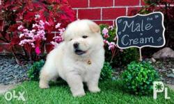 For Sale Chow Chow Male Compact Size Bear Type Blue