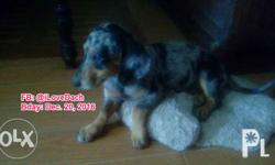 Male Dapple Dachshund in Butuan City