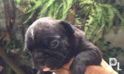 Male french bulldog Black brindle with white chest Dob