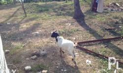 Male Goat 6 months - 3,000.00 4 months - 2,500.00