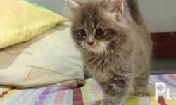 Male Persian Kitten Date of birth: March 10, 2018 Diet:
