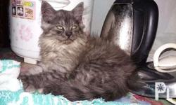 *Pure breed *Very friendly & playful to other cats &