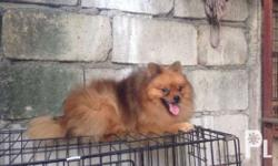 Male pomeranian for sale only Red sable Triple and