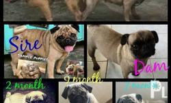 Quality Pure Breed Pug Puppies With RESERVATION -