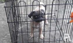 Male Pug for Sale FOR SALE ONLY NO TO SWAP. with PCCI