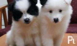 Male Puppy Pure Japanese-SPITZ With Deworming