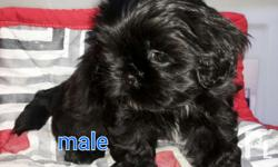 For sale last 2 males shih tzu Purebreed No paper Dob