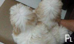 Male Shih tzu puppies 3 months old Gold and White with