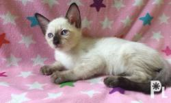 MALE SIAMESE KITTEN ** 2 months ** Very active,
