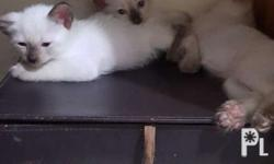 Pure breed siamese Litter trained 6 weeks old Can now