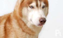 Siberian Husky Blue Eyes Champline For Sale In Quezon City National