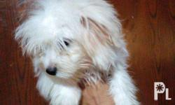 - PURE BREED Maltese - Hypoallergenic - Angelic Face -