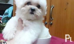 Maltese Purebreed Hypoallergenic dog QUALITY TEACUP 2