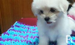 Maltese Purebreed Quality Dollface Small type see to