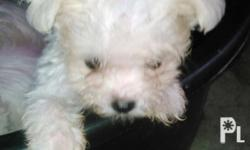 Purebreed all.white,,,healthy---d.o.b,.September