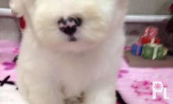 Maltese Male with PCCI on hand 3.5mos Emerald Line