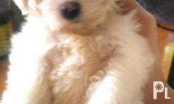 For sale maltese.. pure breed no papers but both