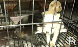 Maltese pups for sale!!! 1month old 3 female pups DOB-