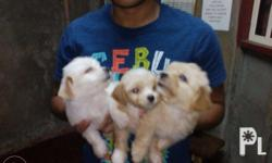 For sale maltese puppies in a very affordable price.