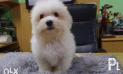 Cute and Maltese Pups for Re-homing All pups are cute