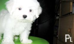Near SM NORTH EDSA male. Teacup Size 3 MOS OLD With