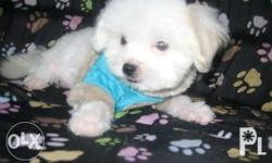 Near SM NORTH EDSA male. Teacup Size 3 MOS OLD Bright