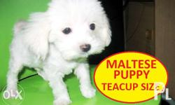 Contact the breeder : Near SM NORTH EDSA male. Teacup