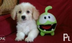 Male Mal-Shi puppy DOB: 09/29/16 Playful Healthy and
